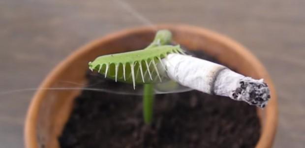 La Dionaea muscipula es una planta carnívora mejor conocida como […]
