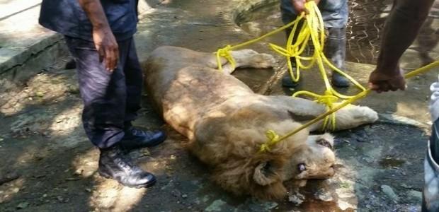 Moca.-Uno de los dos leones que serían trasladados desde el […]