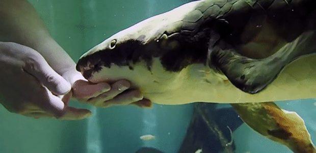 Spread the love ¿Cuánto puede vivir un pez? Algunos mucho, como es el caso de Methuselah (Matusalén). Se trata de una hembra de pez pulmón australiano (Neoceratodus fosteri) que llegó […]
